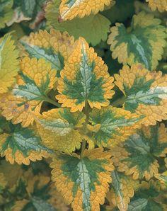 Golden Anniversary - Spotted Dead Nettle - Lamium maculatum