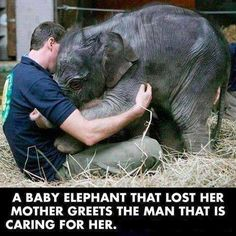 A baby elephant that lost her mother greets the man that is caring for her. Sad, but sweet too.
