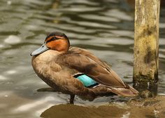 Philippine Duck (Anas luzonica) by Dean Page Photography, via Flickr
