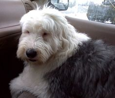 Old English Sheepdog Information and Pictures, Bobtail, Old ...