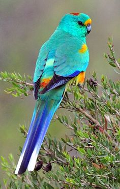 Mulga Parrot (Psephotus varius). Endemic to scrubland in southern Australia (by Alwyn Simple).