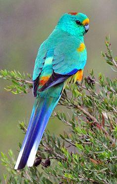 Mulga Parrot (Psephotus varius). Endemic to scrubland in southern Australia. photo: Alwyn Simple.