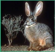 Die skaars oewerkonyn kom in Laingsburg-distrik voor Extinct And Endangered Animals, Animal Portraits, Bunny Art, Rabbits, Conservation, Pottery, Sculpture, Board, Artist