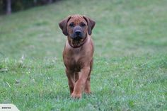 Rhodesian Ridgeback Nz Bred/ NZ champ parents