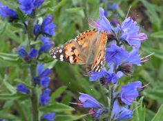 Echium vulgare (3 plugs) - Vipers Bugloss, hardy blue Bee, Butterfly pollinator plant; Native Wildflower; Low maintenance by RootGarden on Etsy