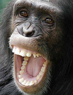 #Chimpanzee Close-up...look at those beautiful teeth!