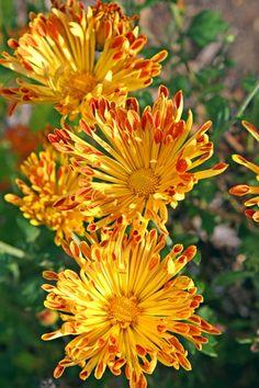 Matchsticks Garden Mum for sale buy Chrysanthemum 'Matchsticks'