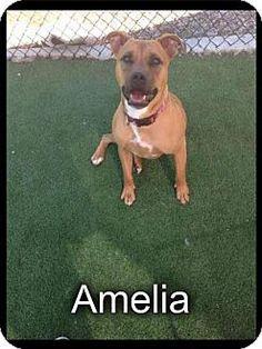 Decatur, GA - Labrador Retriever/Boxer Mix. Meet Amelia, a dog for adoption. http://www.adoptapet.com/pet/16293170-decatur-georgia-labrador-retriever-mix