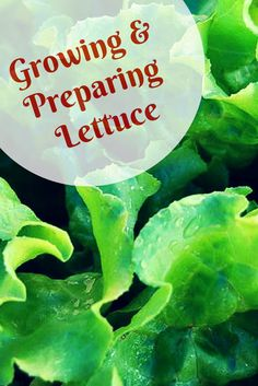 How to grow and or prepare loose leaf lettuce with these simple directions and recipe ideas.