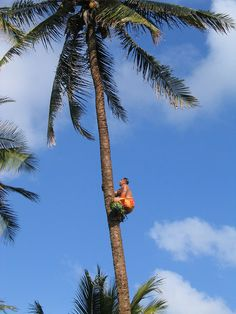 Tree Climber.A sogaimiti(a man who has a traditional tattoo on his stomach down to his knees) climb up the coconut tree.