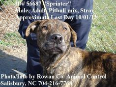 "Last Day 10/01/13 * 56687 ""Sprinter""  Adult, Male, Bully Mix, Stray Adoption fee $70 - goes towards spay/neuter and 1 yr rabies vaccine. Rowan Cty Shelter (Salisbury, NC) 704-216-7768/7770/7771  https://www.facebook.com/media/set/?set=a.597656316942581.1073742722.331561090218773&type=3"