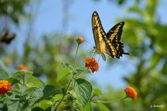 Papilio Machaon (II) - Foto tirada em ambiente livre - Niterói (RJ) - Brasil .............................................................. Photo taken at free environment - Niterói (RJ) - Brazil