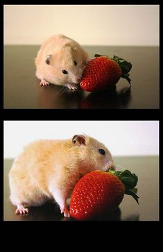 Hamsters will enjoy a summer strawberry treat Hamster Pics, Hamster Care, Hamster Treats, Hamster Stuff, Hamsters As Pets, Cute Hamsters, Rodents, Chinese Dwarf Hamster, Syrian Hamster