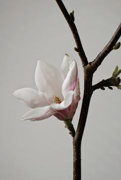 Kuistin kautta: Magnoliahulluus