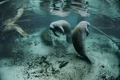 "Manatees have been known to body surf or ""barrel roll"" -- a fun maneuver where the animals spin round and round in a 360-degree motion -- just for kicks. The animals certainly swim as their primary form of locomotion, as they live exclusively in the water -- but they also enjoy playing around in the waves, because everyone needs to have a little fun."