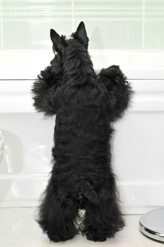 Kasi did this all the time. Scotties are always looking out!