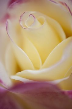 Double Delight rose -- cream and pink with a strong fragrance.: Yellow Rose, Beautiful Roses, Beautiful Flowers, Pretty Flowers, Pink, Things, Flowers Garden
