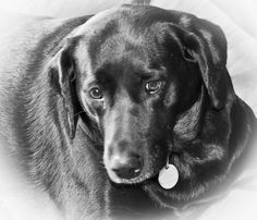 Our Lab Aggie...sweet sweet girl