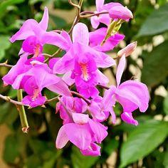 Catleyas lilas
