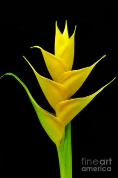 heliconia flower blooming in vivid colors