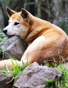 Dingo- i've petted one before & it even thought I was his mom, if only they weren't illegal in the U.S. because I would definitely have one right now