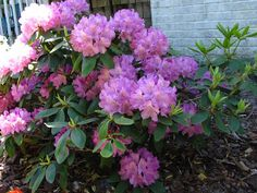 Evergreen rhododendron blooming in early May