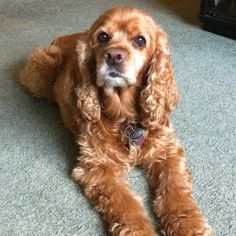 Bailey, cocker spaniel, love of my life!