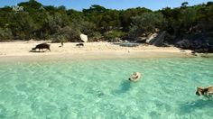 The Swimming Pigs on Big Major Cay