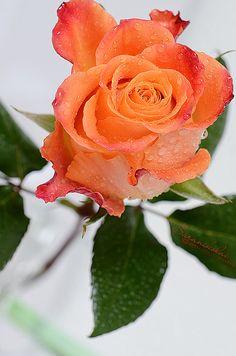 Rose | Flickr: Intercambio de fotos