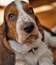 Basset Hounds are generally friendly with just about everyone. Given proper attention and companionship, the Basset Hound can develop into an extremely loyal dog that is capable of developing a bond with each member of its family. Basset Puppies, Hound Puppies, Basset Hound Puppy, Cute Puppies, Cute Dogs, Dogs And Puppies, Doggies, Beagles, Animals Beautiful