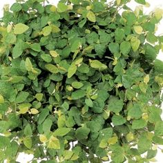 Arina Ficus- One of over 400+ varieties from Exotic Angel Plants®