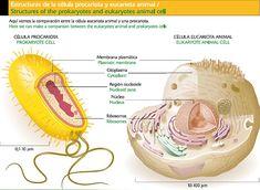 Diferencias entre las celulas eucariotas y procariotas