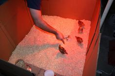 DIY chick brooder