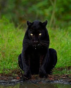 """Reposted using """" from - Panther Stare . The most insane sighting of my life without a doubt. Can still close my eyes and play out the entire scene that evening Photographer . Beautiful Cats, Animals Beautiful, Beautiful Pictures, Wildlife Photography, Animal Photography, Photography Tips, Animals And Pets, Cute Animals, Wild Animals"""