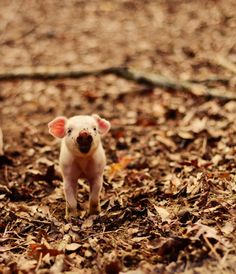 A little piglet foraging in the dirt.