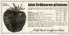 Original-Werbung/ Anzeige 1957 - ERDBEEREN / SENGA SENGANA / ADOLF MAUK - LAUFFEN AM NECKAR - ca. 140 x 70 mm