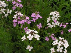 Hesperis matronalis, Sweet Rocket – Heirloom & Perennial Ltd Identifying Weeds, Pretty Flowers, Wild Flowers, Bee Friendly, Moon Garden, Flower Food, Ornamental Plants, Plant Species, Spring Is Here