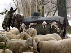 You know what's awesome? A donkey lamb taxi. That sounds like a band name. Hey, when's the next Donkey Lamb Taxi show? When sheep herders in the hills of Lombardy, Italy need to move their flocks toward better grazing land, the wee lambs get a little help Farm Animals, Animals And Pets, Funny Animals, Cute Animals, Wild Animals, Beautiful Creatures, Animals Beautiful, Photo Animaliere, Time Photo