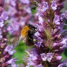 Create Pollinator-Friendly, Gorgeous Gardens with Perennials like Agastache Beelicious® Purple entices bees and butterflies with its fabulous blooms. An easy to grow plant, it's not fussy about the soil, thriving in sandy, loamy, and normal soils. Producing flower after flower, it blossoms all summer and well into autumn, adding stunning purple color to the garden. Lavender Varieties, Bee Friendly Plants, Natural Ecosystem, Hydrangea Paniculata, Butterfly Bush, Low Maintenance Garden, Organic Gardening Tips, Natural Garden, Growing Plants