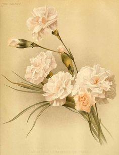 dianthus carnation                                                                                                                                                                                 More