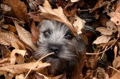 Cairn Terrier Puppy playing amongst the Autumn leaves