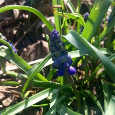 Oooooo my Grape Hyacinths are blooming!!!!  Copyright © 2015 Tofu Fairy's Brain Pile - All Rights Reserved #flower #hyacinth #grapehyacinth #spring #nature