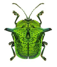 Omocerus scaerueopunctata F Crhysomelidae