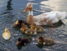 Cute duck chicks in Odijk by hugodejong35