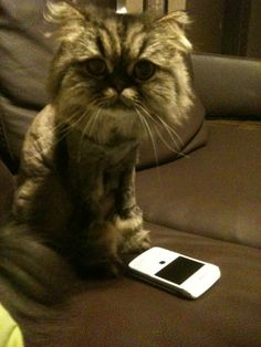 Chocho trying to use a blackberry