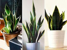 A szanzavéra (Sansevieria trifasciata) a szerény igényű, kevés ápolást igénylő, könnyen szaporítható szobanövények közé tartozik. Plants Are Friends, Gardening, Flowers, Outdoor, Plant, Outdoors, Garten, Florals, Lawn And Garden