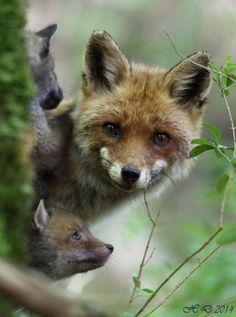 Familia de fox