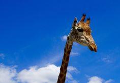 https://flic.kr/p/vfe8nH | Giraffe in den Wolken | Diese Giraffe wurde ebenso im Serengeti Park fotografiert und sie ist in etwa 5 Meter gross!