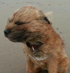 Kelso Border Terrier (kelsoterrier) on Twitter