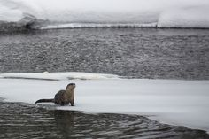 River Otter on Obsidian Creek, Yellowstone National Park, Wyoming (pinned by haw-creek.com)